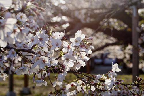 240406 神園の桜8