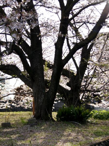 240406 神園の桜6-1