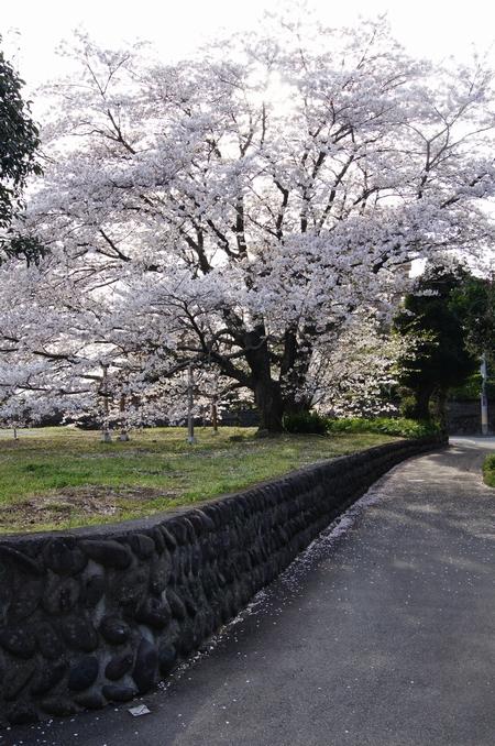 240406 神園の桜6