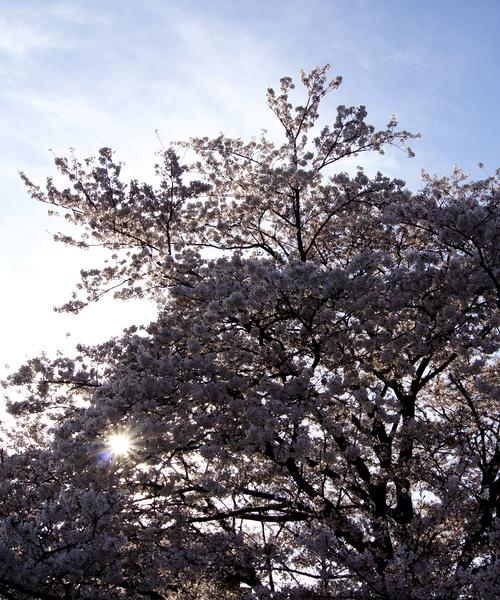240406 神園の桜12