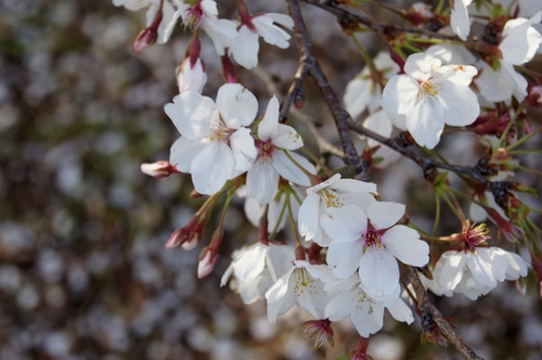 240406 神園の桜11