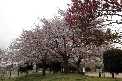 240410 下江津公園12