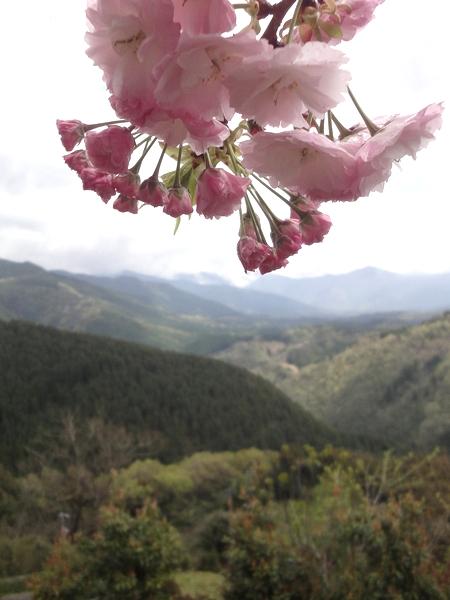 240414 遠山桜12