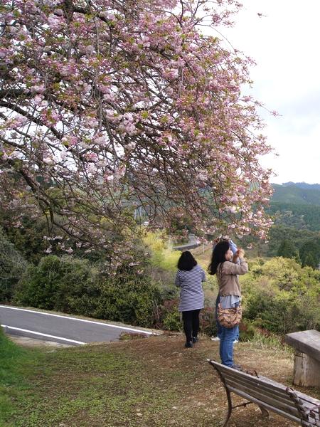 240414 遠山桜11
