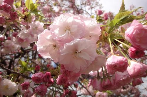 240414 遠山桜10