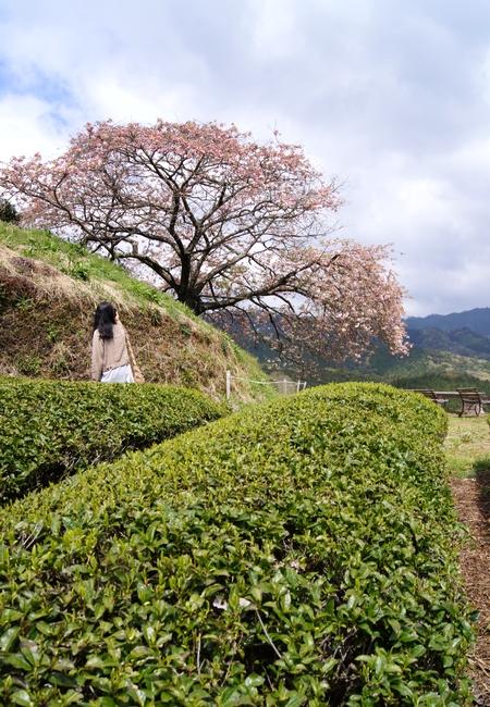 240414 遠山桜9