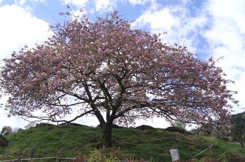 240414 遠山桜8