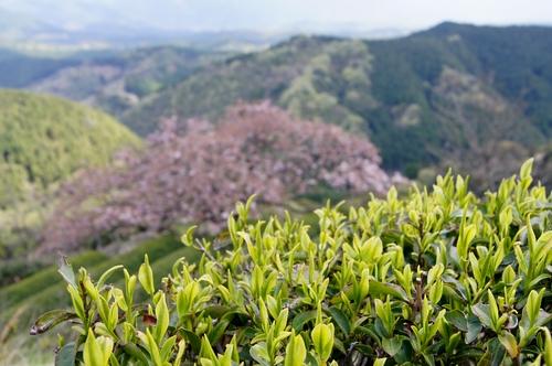 240414 遠山桜18