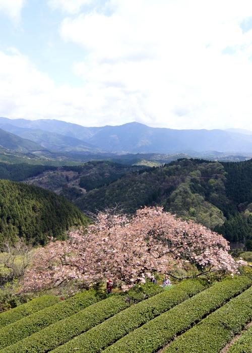 240414 遠山桜17