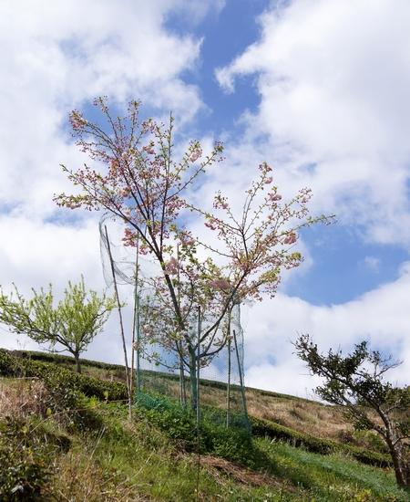 240414 遠山桜15