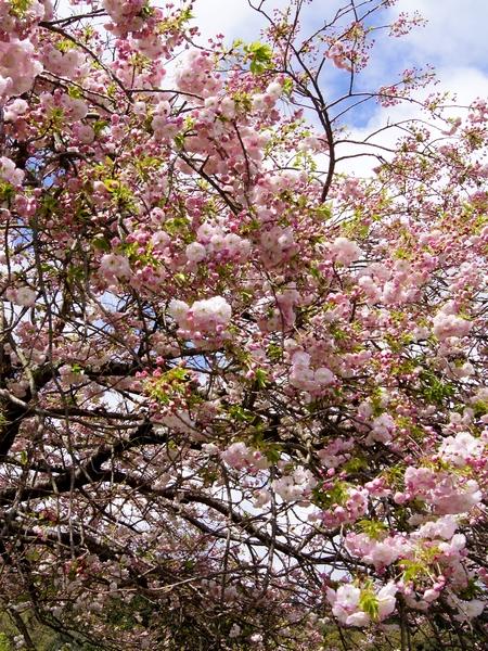 240414 遠山桜14