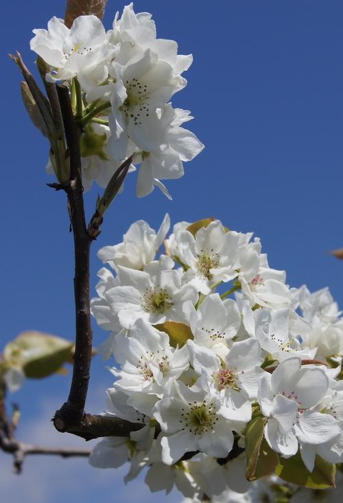 240414 梨の花2