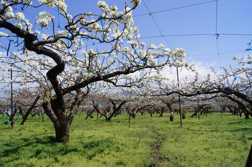 240414 梨の花1