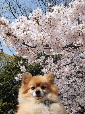 ぶんちゃと桜