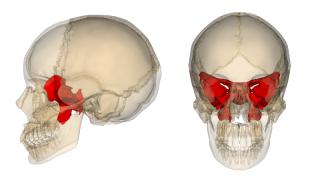 Sphenoid_bone.png