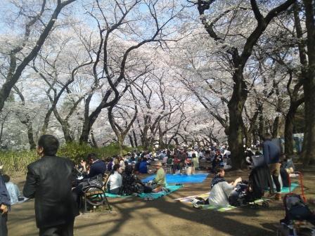 井の頭公園桜1