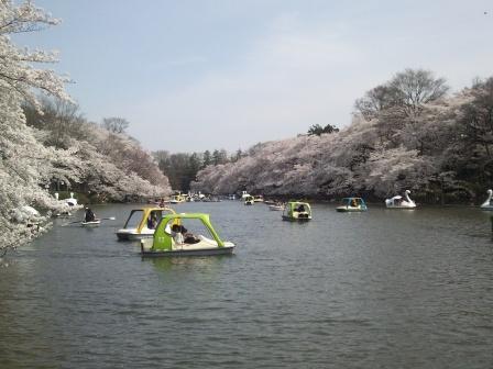 井の頭公園桜3