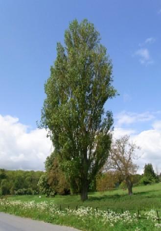 Biburyの木