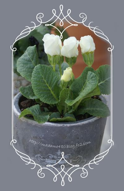 バラ咲きジュリアンホワイトweb用ok