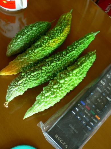 2011年度初収穫のゴーヤ