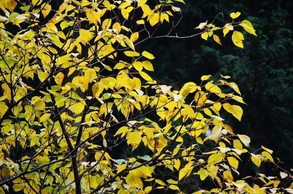川来須の黄葉