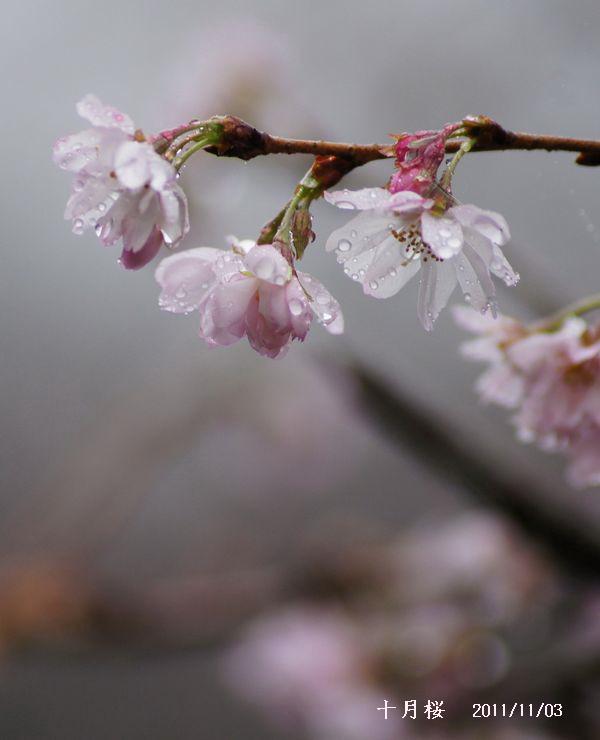 十月桜5・寒風山