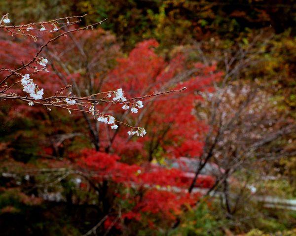十月桜10