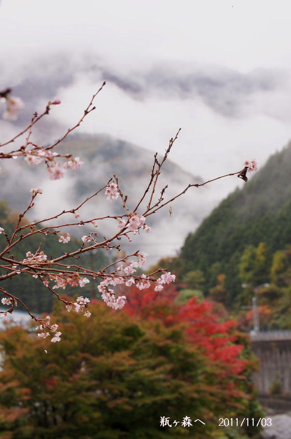 十月桜11