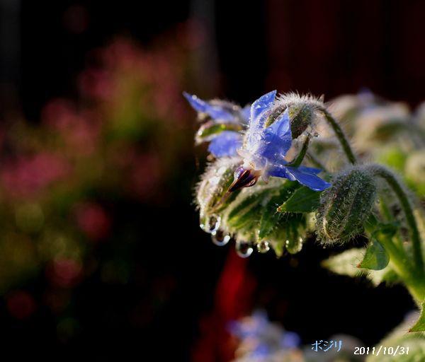身近な花たち 066