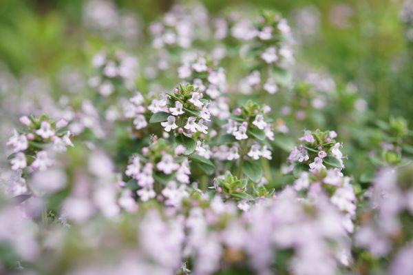イブキジャコウ草
