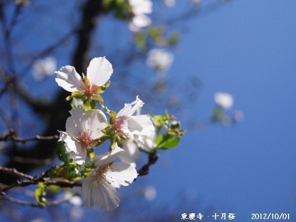十月桜1 (2789x2092) (600x450) - コピー - コピー