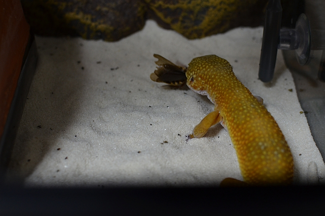 leopardgecko111007-4.jpg