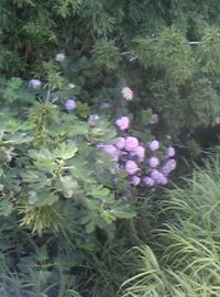 702ajisai_convert_20110703021259.jpg
