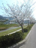 sakuranamiki_convert_20110410194058.jpg