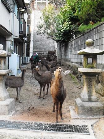 宮島29 鹿の集い