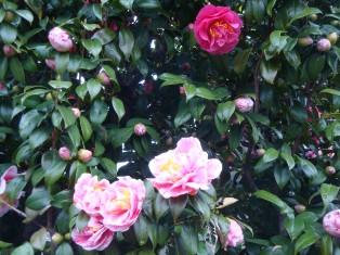 一つの木に、2色咲いています