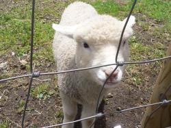 めえめえ羊さん