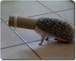 headgehog.jpg