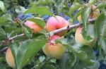 収穫の時を迎えた「南高梅」
