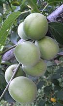 大きな果実に生育した「鴬宿梅」