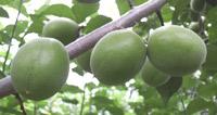 この光沢と果汁エキスが豊富な品種の鴬宿梅