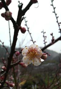 ようやく開花宣言!梅の花はこれからが本番です。