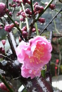 開花の時をじっと待つ梅の花。