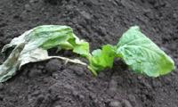 植付けたばかりの高菜苗