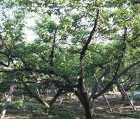 たくましく生育してくれる「梅の樹」