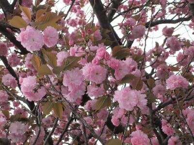 八重桜 2