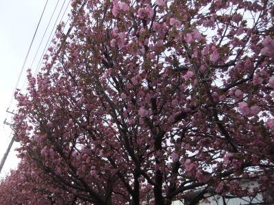 八重桜 1