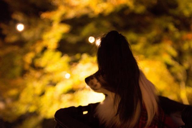 紅葉ライトアップ♪ ~勝尾寺(大阪箕面)~-011