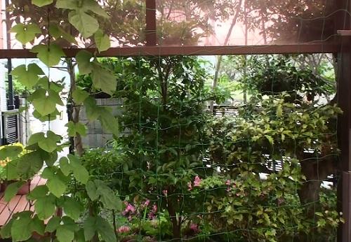 前庭の朝顔
