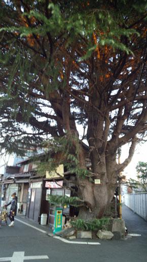 himarayasugi2013-12.jpg